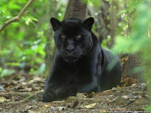 Black-Panther-animals-13128457-1024-768