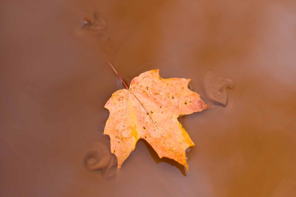 Maple leaf floats through muddy water