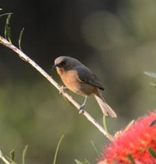 Scarlet honeyeater - female
