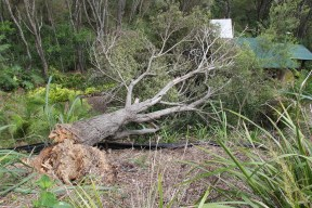 Luckily this old black wattle fell away from the house....