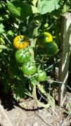 Mutant Cherry Tomato Plant