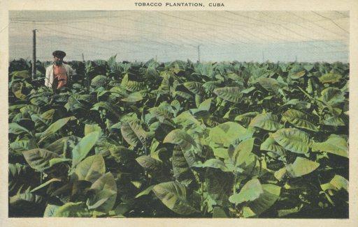 TobaccoPlantation,Cuba