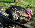 2014-03-29 fat turkey