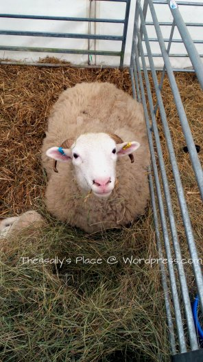 2014-03-29 mumma sheeps