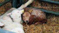 2014-03-29 sleepy lamb