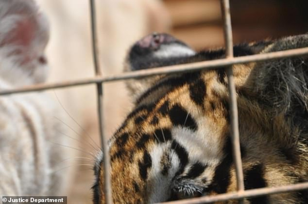 Pictured: a photo of a tiger with an injured ear that was found under the Lowe's care, per the U.S. Department of Justice