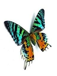 Madagascan Sunset Moth Black Heart Necklace