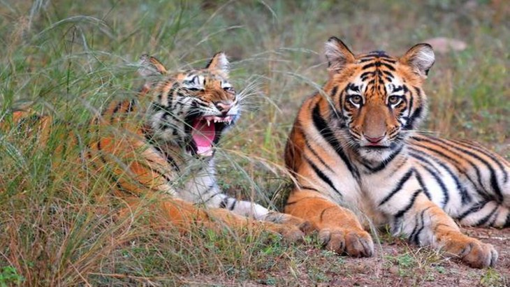 Tiger population of India