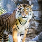 Tigers from Assam goes to West Bengal