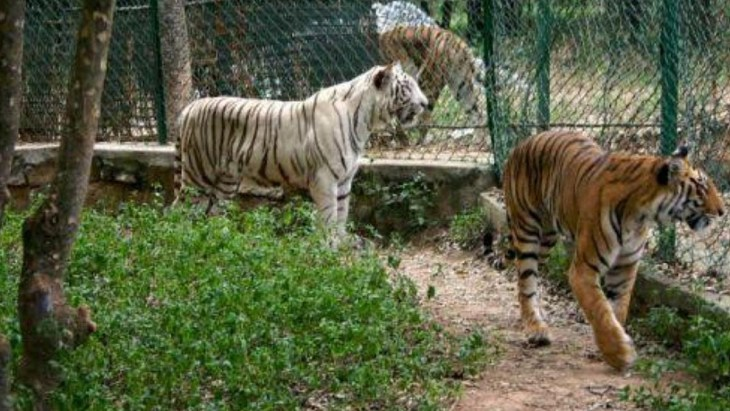 Indian zoos on high alert after tiger tests positive for coronavirus. Image: www.sarkardaily.com