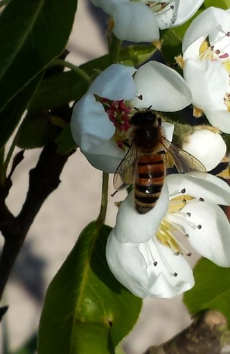 Bee on Pear blossom
