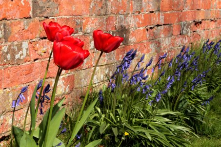 Tulips and Bluebells in village