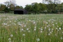 Field with dandelion clocks