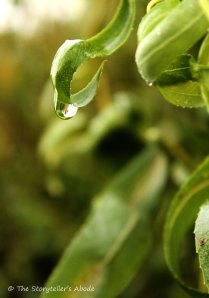 droplet on corkscrew willow4