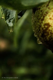 droplet on pear
