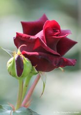 rose with bud small
