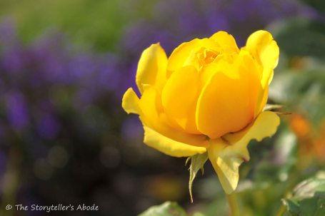 yellow rose small