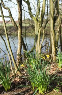 daffodils on streambank small