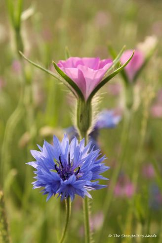cornflower and corncockle