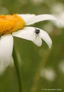 fly on wet daisy