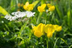 Birdsfoot Trefoil with Wild Carrot