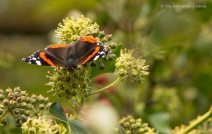 butterfly-on-ivy