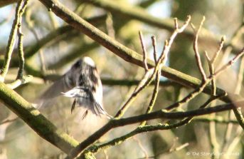 long-tailed-titi-in-flight