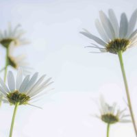 Wordless Wednesday: As The Daisies Grow