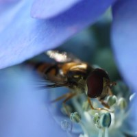 In Appreciation of Hoverflies
