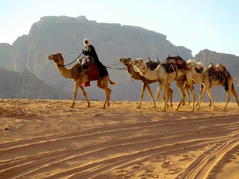 A modern Arabian Bedouin man and his camels.