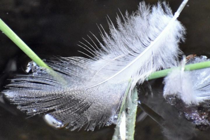 A white eagle feather