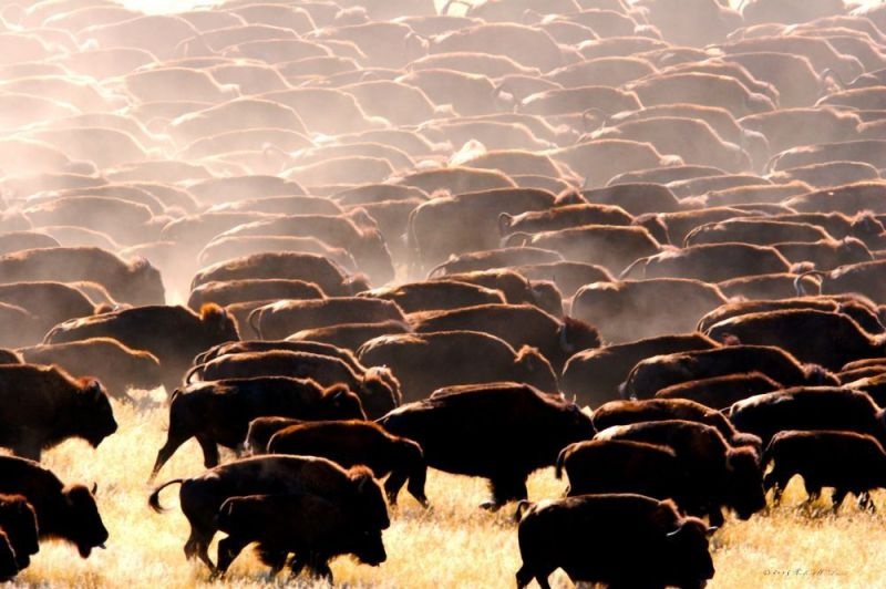 A herd of North American bison