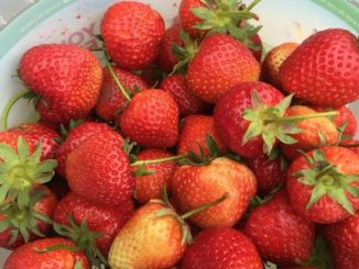strawberry picking - a bucket of strawberries