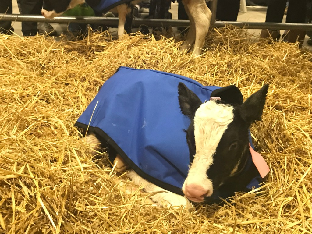 A calf stays warm at the Pennsylvania Farm Show.