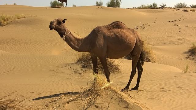 camel-900390_640