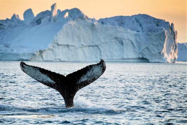 whale watching at Disko Bay, Greenland