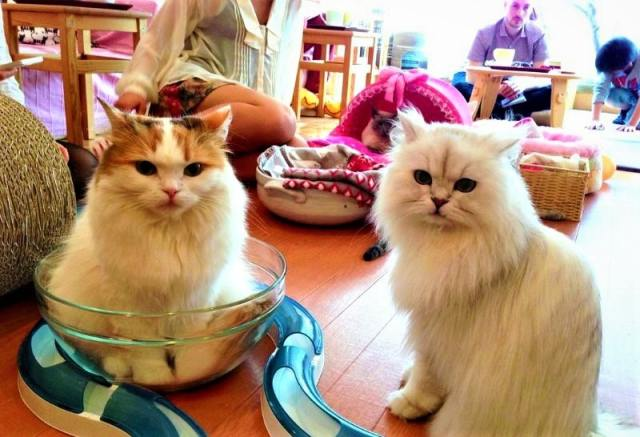 Japanese Cat Cafes
