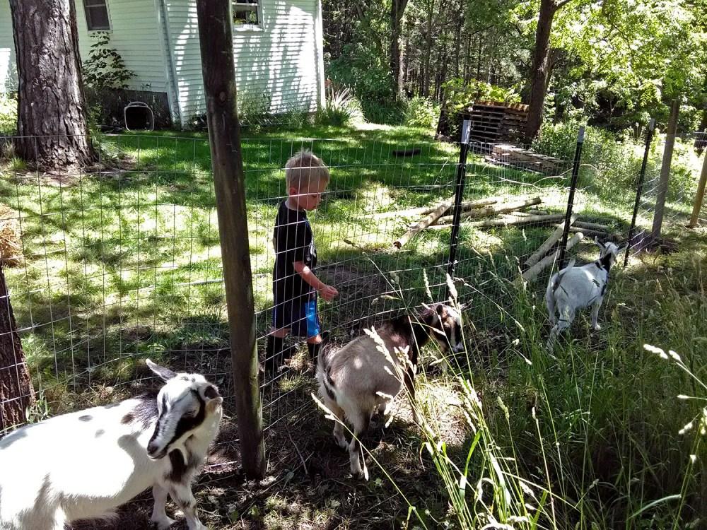 Jacob walking with 3 goats