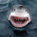 GREAT WHITE SHARK ATTACKS TO MARK JAWS 40TH ANNIVERSARY