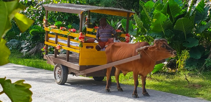 Ox pulling yellow cart