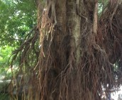 A tree with many roots.