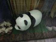 I missed seeing in person all the pandas, found a store that had one on display though!