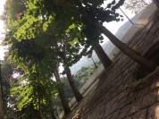 Bauhinia tree