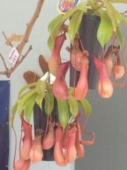 Hi pitcher plants!
