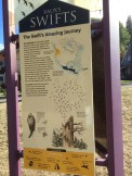 Went to see the swifts....