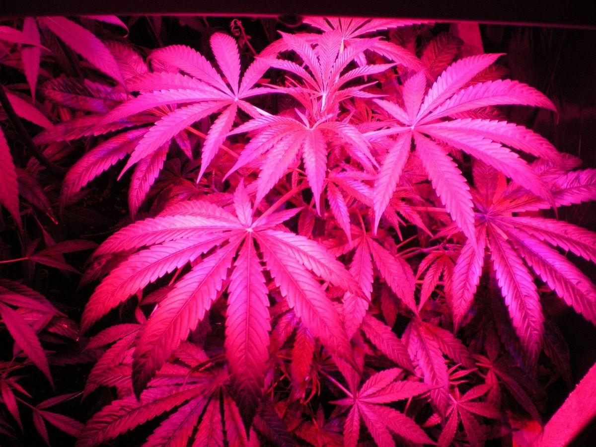 1280px-indoor_hybrid_medical_cannabis_gro5