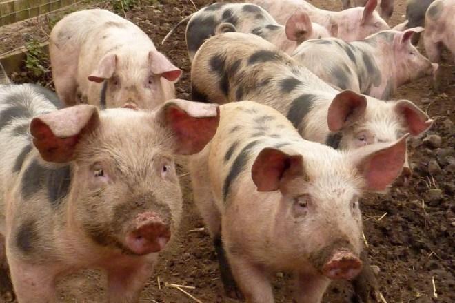 Il nostro consumo di carne è insostenibile, e questa pandemia ne è una conseguenza