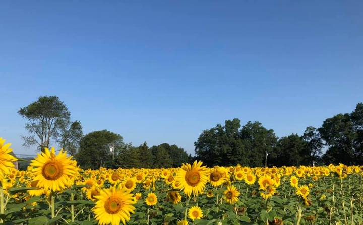 Groton Bucket List: Sunflowers For Wishes Festival