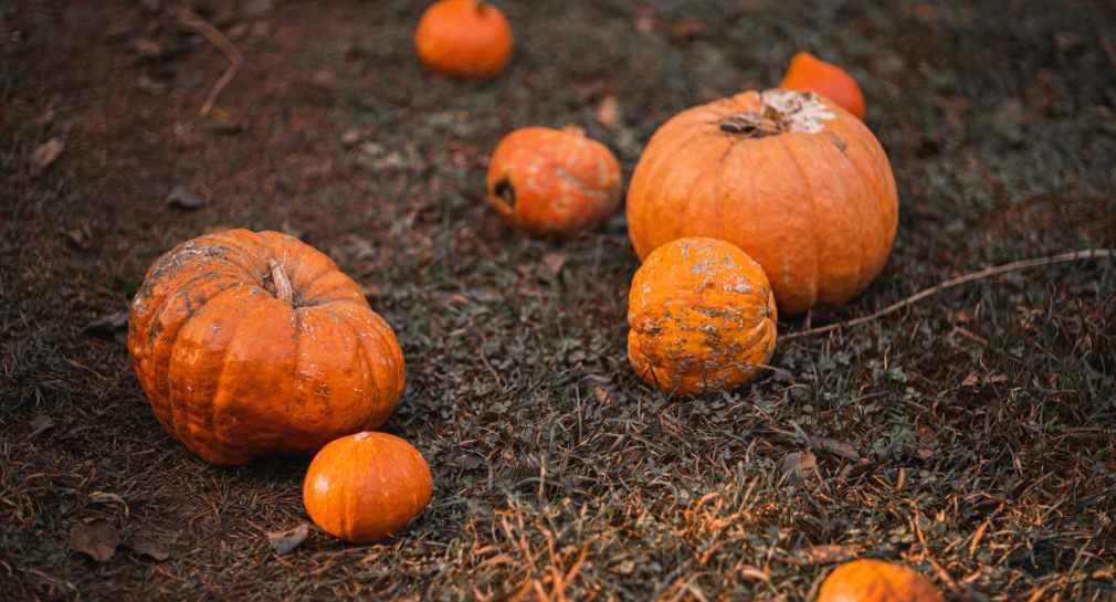 orange pumpkins on brown grass