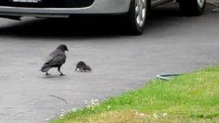crow vs. mouse